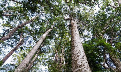 Tui Tours Kauri Tree View